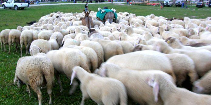 Pecore donate dai pastori sardi